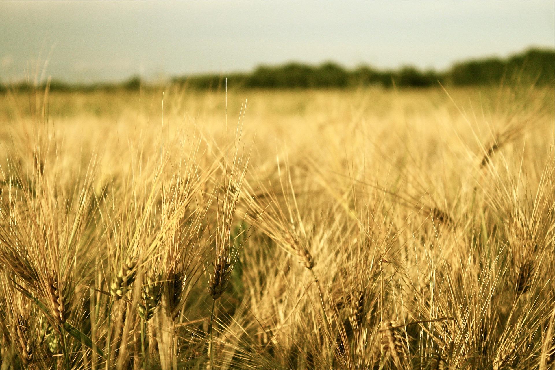 Barley field stock image